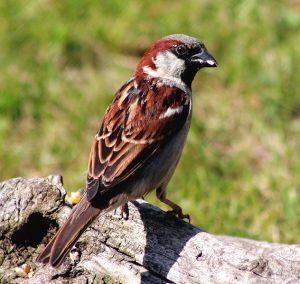 632px-Passer_domesticus_-Scotland_-male-8b